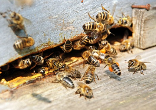 Honey bees disappearing - bee extermination (4)