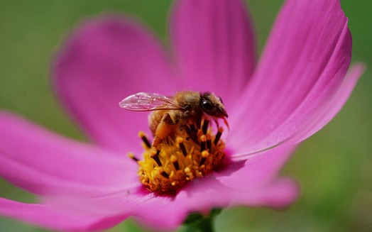 Honey bees and flowers - flowers to attract bees (3)