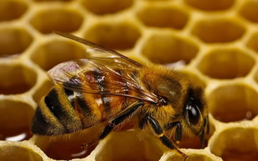 Interesting bee facts- cool bee facts