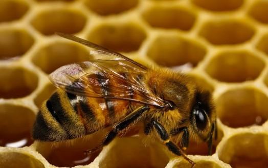 Faits intéressants sur les abeilles - faits intéressants sur les abeilles
