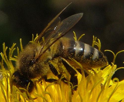 Habitat des abeilles - comment fonctionne l'abeille (2)