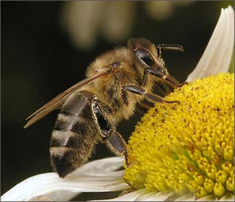 Bees hornets wasps - bumble bee facts (5)