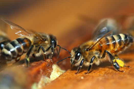 Honey bee species - honey bees pictures (1)