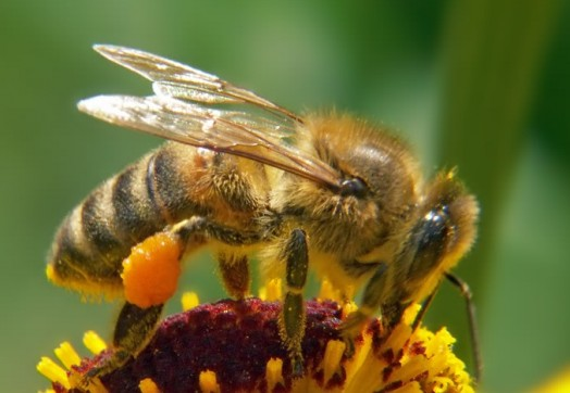 Interesting bee facts- cool bee facts (1)