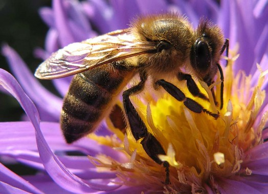 Honey bee species - honey bees pictures (10)