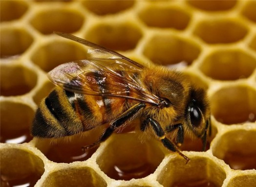 Raising honey bees - bee database (4)