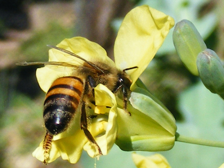 Bees hornets wasps - bumble bee facts (1)