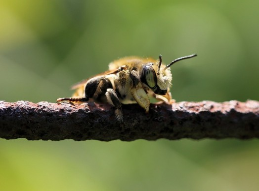 Different types of bees - bees identification (2)