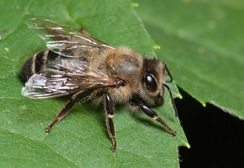 Different types of bees - bees identification (1)