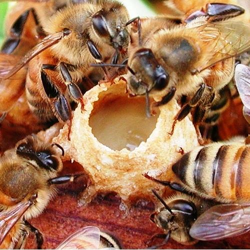 Des abeilles autour d'une alvéole de gelée royale