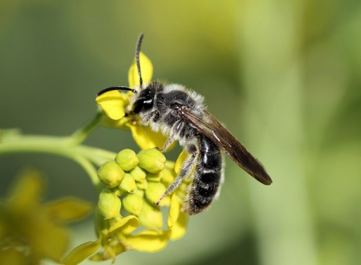 Different types of bees - bees identification (5)
