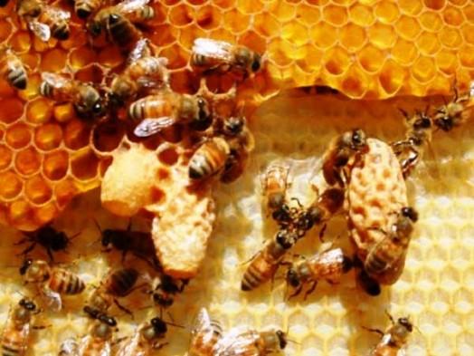 Gelée royale miel - gelée royale santé (2)