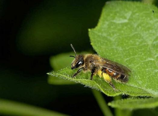 Different types of bees - bees identification (3)