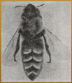 Bee honeycomb - information on honey bee (10)