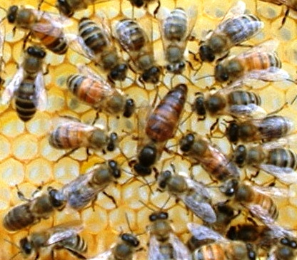 Russian bees - honey bees beekeeping (1)