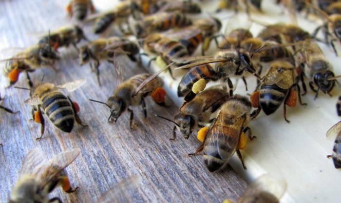 Honey bee pollen - raw bee pollen (8)