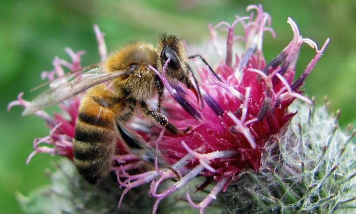 Honey bee pollen - raw bee pollen (5)
