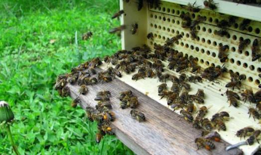 Pollen d'abeille - pollen d'abeille brut (3)