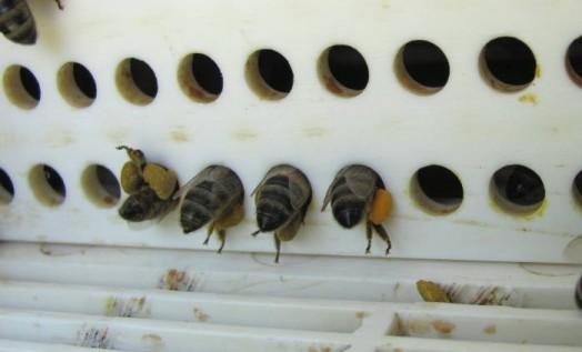 Pollen d'abeille - pollen d'abeille brut (2)
