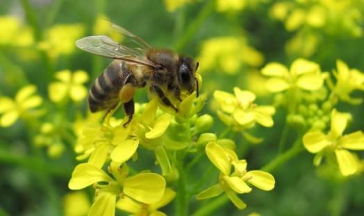 Pollen d'abeille - pollen d'abeille brut (9)