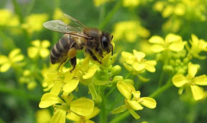 Honey bee pollen - raw bee pollen (9)
