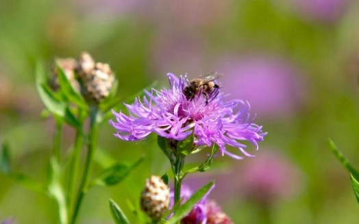 Honey bees and flowers - flowers to attract bees (1)