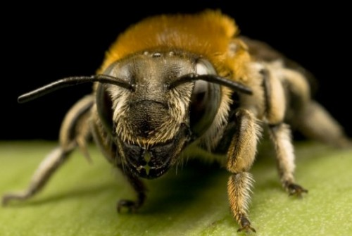 Honey bee species