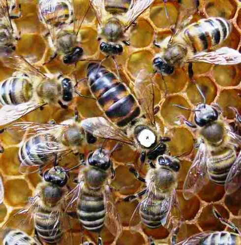 Honey bee queens - queen breeding