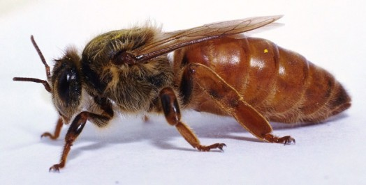 Honey bee queens - queen breeding (4)