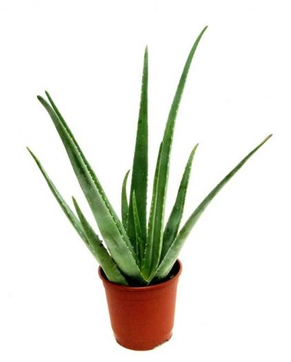 Aloe vera honey - aloe vera drink benefits (3)
