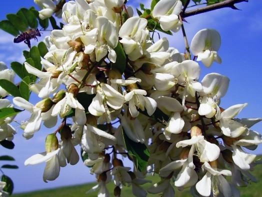 Acacia honey - clear honey (1)