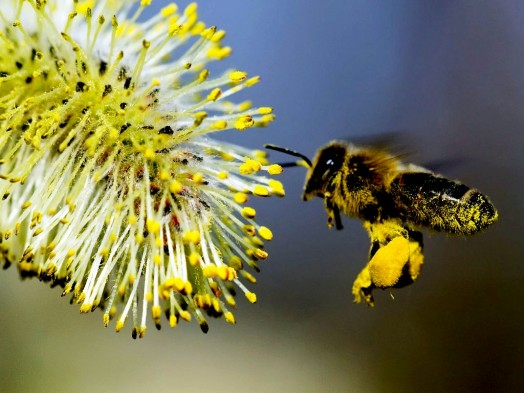 Bee pollen supplements - bee pollen health benefits (3)