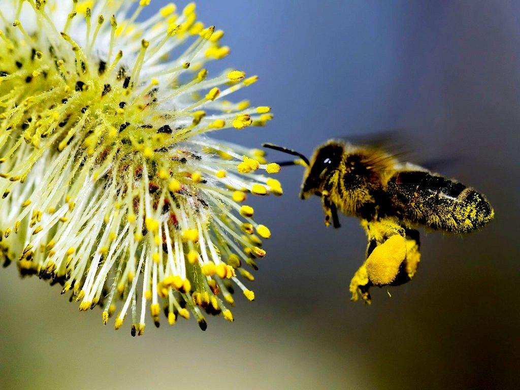 bee pollen supplements...