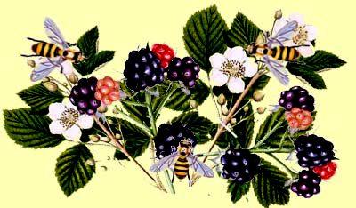 Blackberry honey - local raw honey (3)