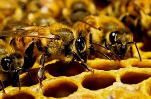 Life cycle of a honey bee - raising bees for honey (1)
