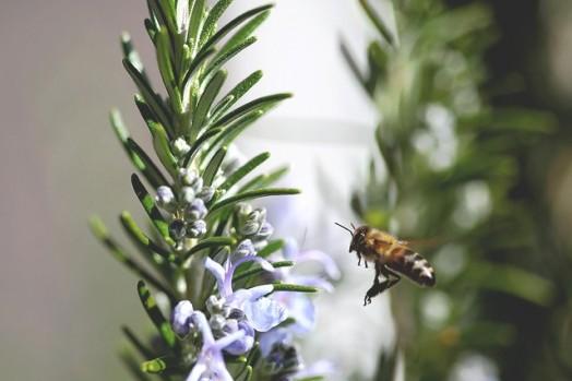 Rosemary honey - cooking rosemary (1)