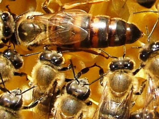 Beekeeping Queen Honey Bee Mating