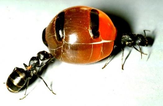 Honey insects - honey ants (1)