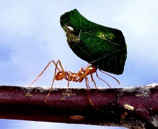Honey insects - honey ants (2)
