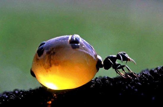 honey ants2
