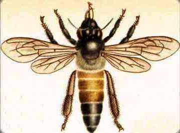 Honey bee queens - queen breeding (1)