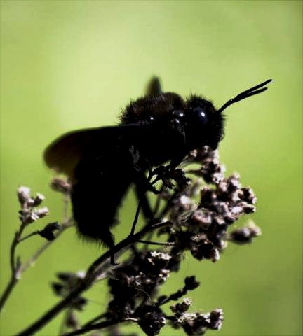 Boring bees - do carpenter bees sting (2)