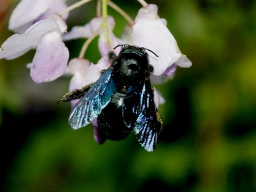 Boring bees - do carpenter bees sting (1)