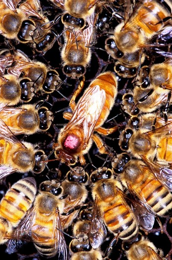 African bees (2)