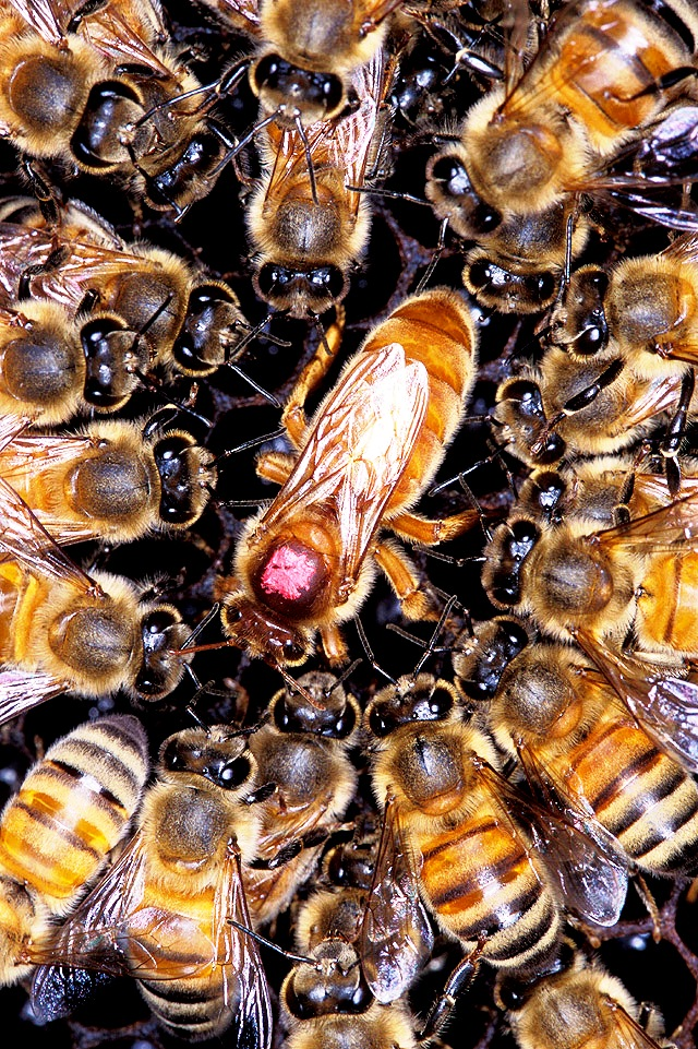 African bees1