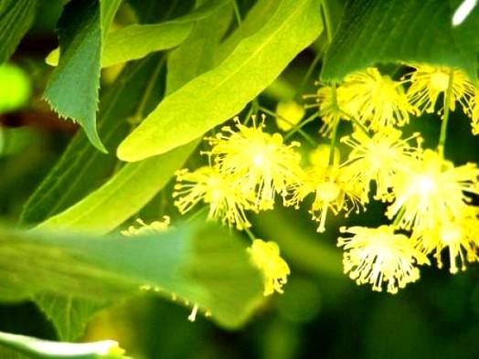 Basswood honey (1)