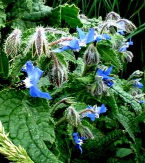 Borage honey (2)