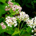 Buckwheat honey - benefits