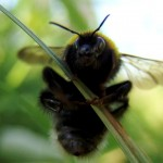 Bumble bee trap