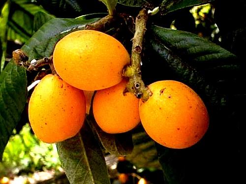 Honey loquat (3)
